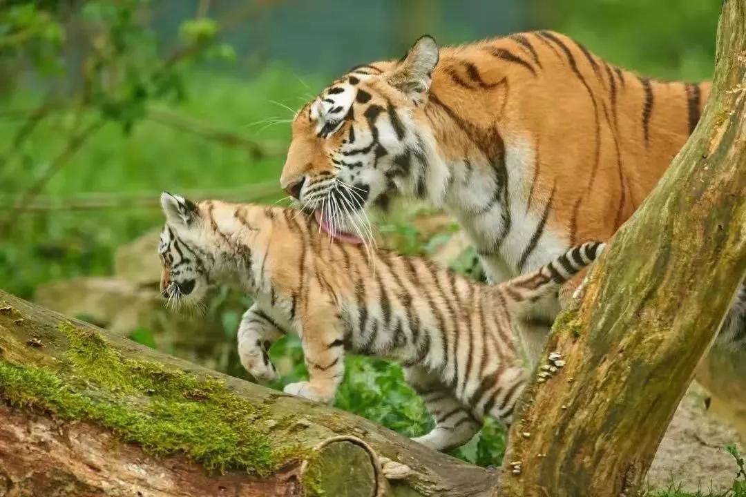 悦刻下田,虎豹返乡